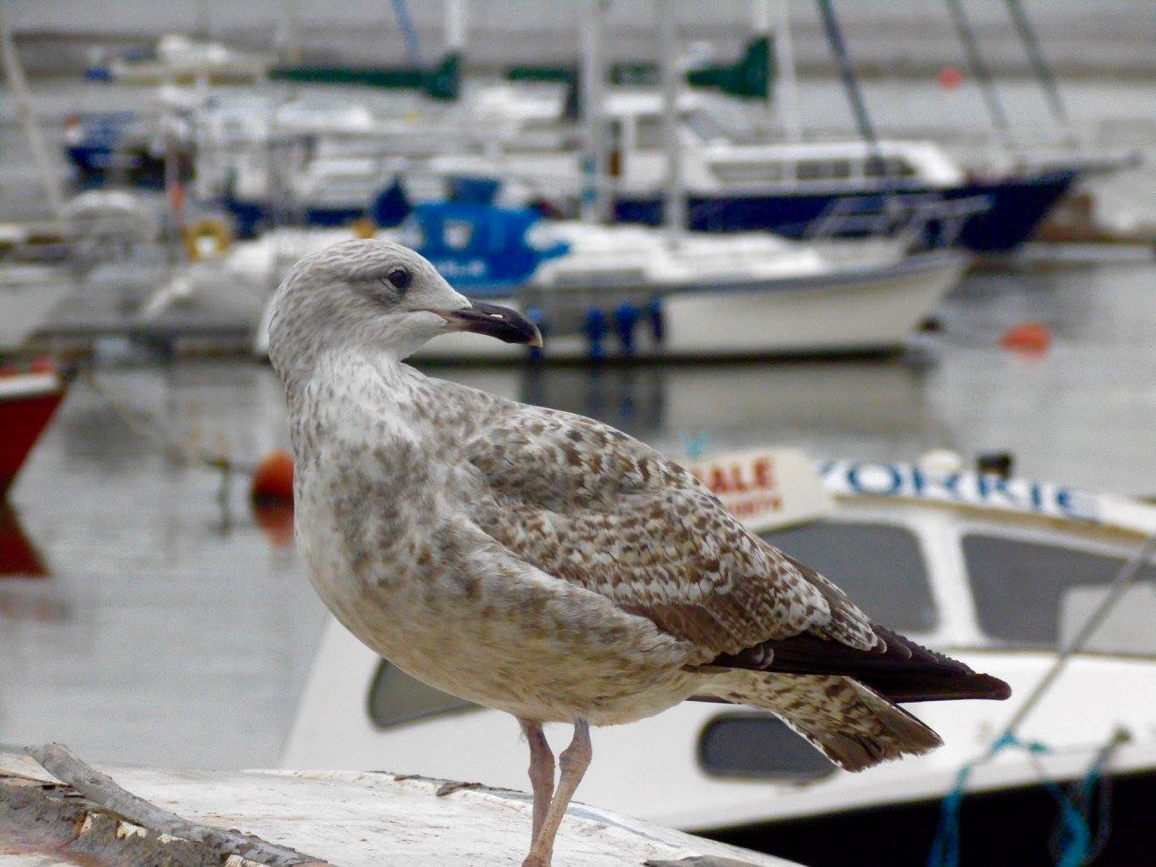 Seagulls are a common sighting here in Conwy, Wales