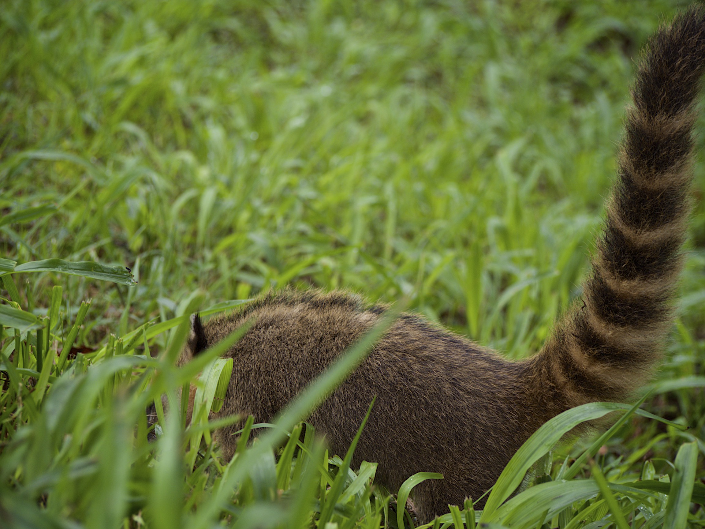 The South America Coati - they look friendly, but they are only after your supper!